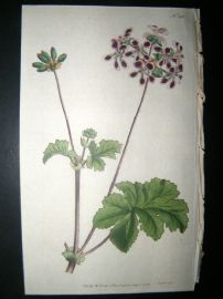 Curtis 1792 Hand Col Botanical Print. Two-Coloured Crane's Bill 201